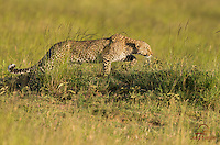 Leopard (Panthera pardus) stalking herd of Topi and Impala in evening light, Masai Mara