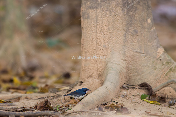 A male Siberian Blue Robin (Luscinia cyane) foraging at dusk. (Cambodia)