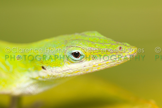 Close-up view of the head of a Carolina anole (Anolis carolinensis).