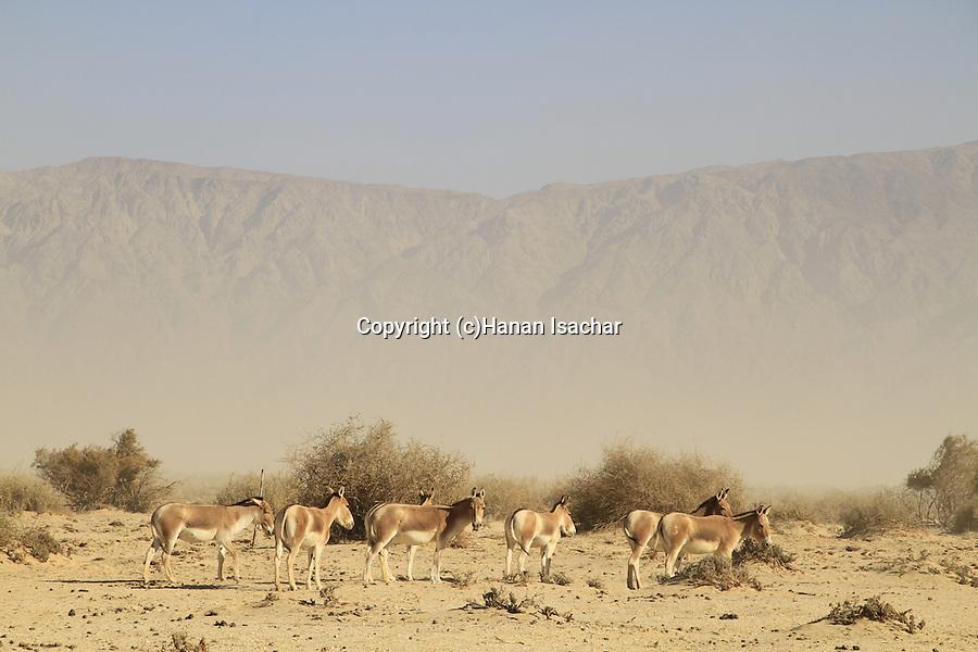 Israel, Arava, Onagers at the Hai Bar, the National Biblical Wildlife Reserve