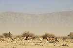 Israel, Arava, Onagers at the Hai Bar, the National Biblical Wildlife Reserve