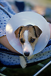 Jack Russell Terrier with Medical Collar