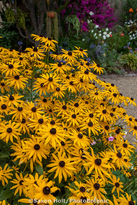 Yellow flower perennial, Rudbeckia 'Goldstrum' in California garden; Schneck Garden