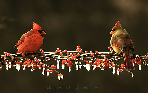 Two Northern Cardinals, Cardinal cardinalis, male and female, on icy branch with red berries