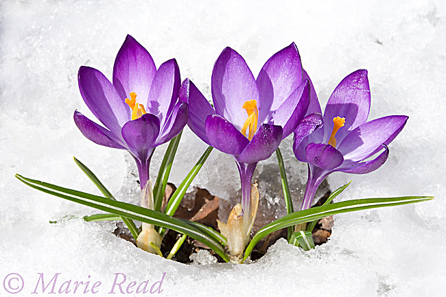 Crocus flowers emerging throught the snow in early spring, New York, USA