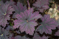 Purple Foliage Plants Stock Images