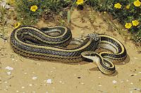 Texas patchnose snake (Salvadora grahamiae lineata), adult shedding skin, Starr County, Rio Grande Valley, Texas, USA