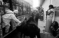11.2010 Bundi (Rajasthan)<br /> <br /> Man driving away a cow during guru Nanak festival.<br /> <br /> Homme en train d'&eacute;loigner une vache pendant le festival de guru Nanak.