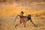 Chacma baboon and baby