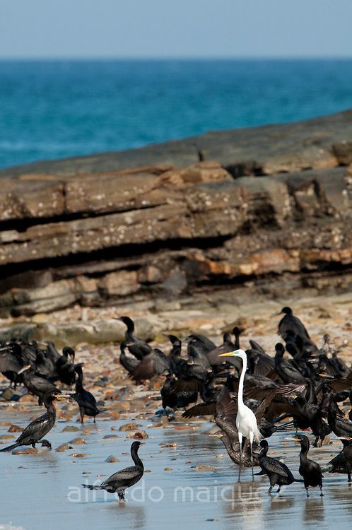 Group of Neotropic Cormorants (Phalacrocorax o. olivaceus) and Great Egret (Casmerodius albus egretta) at the shore of Isla Pacheca. Las Perlas Archipelago, Panama Province, Panama, Central America.