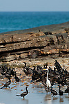 Group of Neotropic Cormorants (Phalacrocorax o. olivaceus) and Great Egret (Casmerodius albus egretta) at the shore of Isla Pacheca. Las Perlas Archipelago, Panama Province, Panama, Central America.