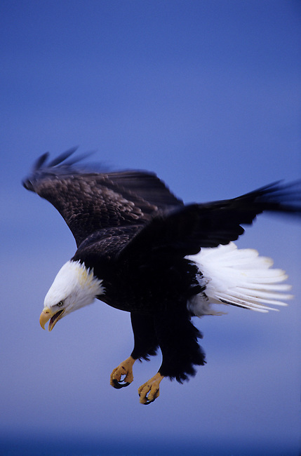 USA, ALASKA, HOMER SPIT, BALD EAGLE FLYING, APPROACHING LANDING
