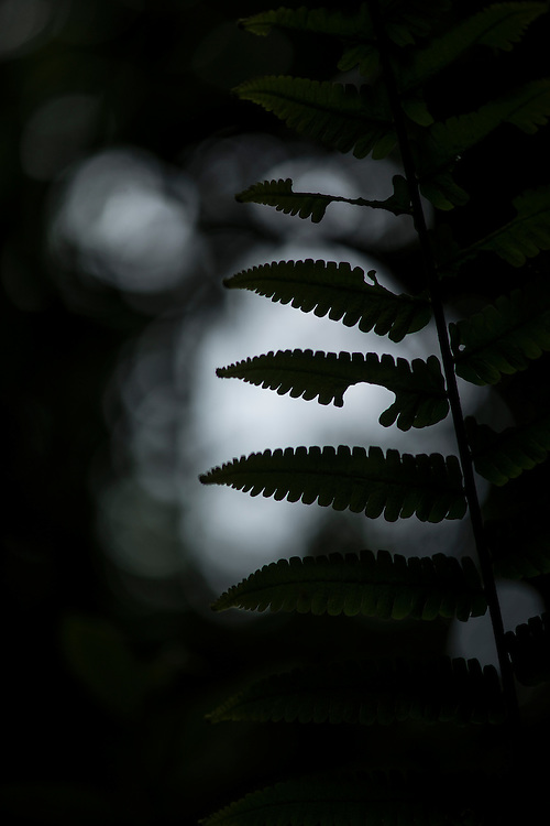 Fern species in the primary rainforest area of the Xishuangbanna Tropical Botanic Gardens