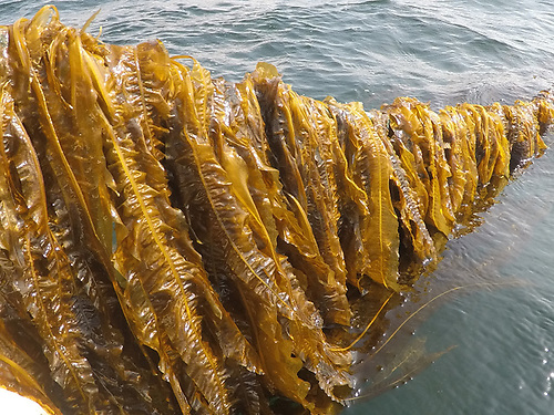 Growing of seaweed on a line
