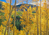 Gunnison National Forest, West Elk Mountains, CO: Backlit aspen trees in fall