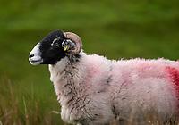 Swaledale ewe near Lancaster, Lancashire.
