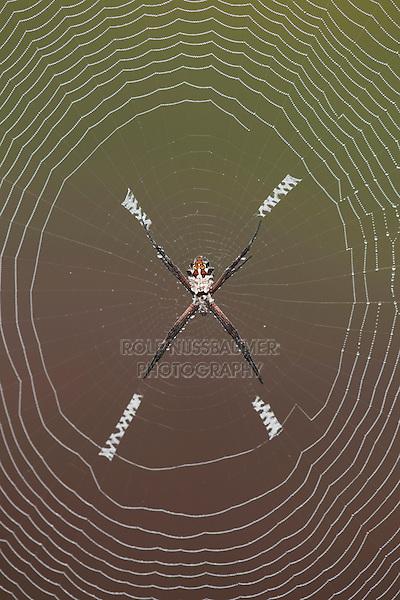 Silver Argiope (Argiope argentata), female in web, Sinton, Corpus Christi, Coastal Bend, Texas, USA