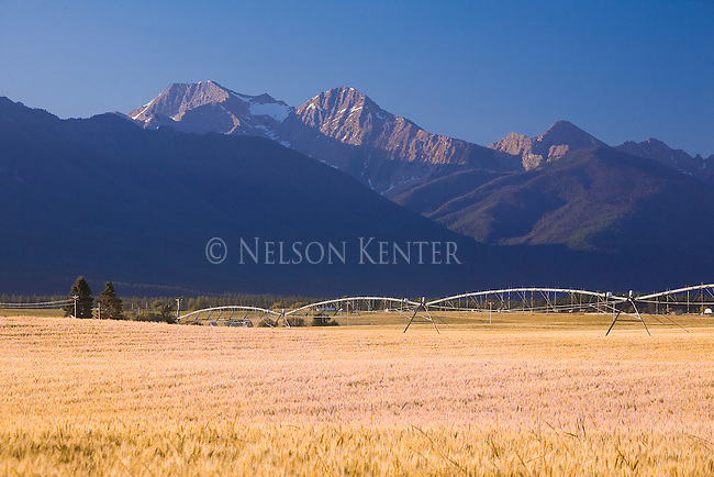 A wheat field in the Mission Valley of western Montana with the Mission Mountains to the east.