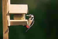 Buntspecht, Männchen an der Vogelfütterung, Erdnussbutter, Bunt-Specht, Specht, Spechte, Dendrocopos major, Great Spotted Woodpecker, male, Woodpeckers. Pic épeiche. Ganzjahresfütterung, Vögel füttern im ganzen Jahr, Vogelfutter