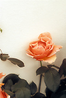 Roses 'Just Joey' orange apricot colored hybrid against cream white wall, neutral background, rosebud, flowers, buds, leaves, foliage
