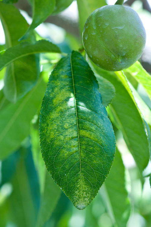 Nectarine leaves with signs of red spider mite infestation. Upper surfaces become speckled or mottled with pale yellow-bronze spots, then begin to dry up and die. Underneath, tiny red spider mites may be seen with a magnifying glass. In severe cases, you may also see fine silk webbing.
