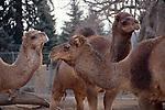 CAMELS AT DENVER ZOO