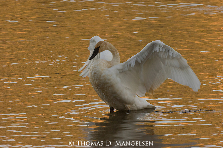 Trumpeter Swan displaying in Yellowstone National Park, Wyoming.