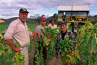 Last Day, (l to r) Portrait, Eddie Toffanello, George Petersen, Gordon Ambrose and Jarvier San Martin Harvesting Tobacco, Toffanello's farm, Dimbulah, 2003.