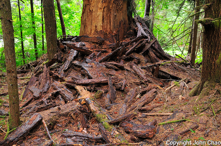 Bark shed from dead Old Growth fir tree accumulates at its base. Twin Firs Trail, Mount Rainier National Park
