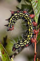 Azalea Moth Caterpillar; Datana major; defensive posture; Pine Barrens, NJ;