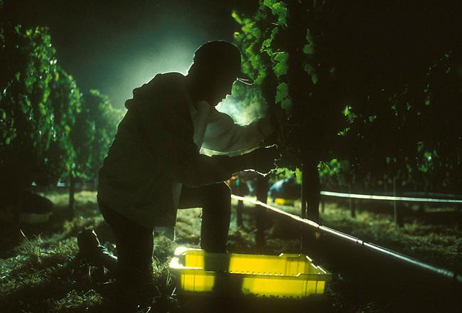 Night picking at Araujo winery