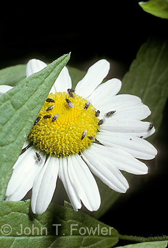 Flies on daisy