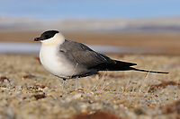 Adult Long-tailed Jaeger (Stercorarius longicaudus) in breeding plumage on the breeding grounds. Bathurst Island, Nunavut, Canada. June.