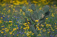 Wildflower field with Texas Prickly Pear Cactus (Opuntia lindheimeri) Squaw Weed (Senecio ampullaceus)Texas Bluebonnet (Lupinus texensis),Three Rivers, Live Oak County, Texas, USA, March 2007