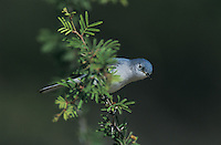 Blue-gray Gnatcatcher, Polioptila caerulea, adult, Willacy County, Rio Grande Valley, Texas, USA, June 2004