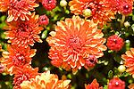 Orange chrysanthemum closeup.