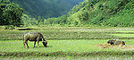 Song Chay Valley - Water buffaloes grazing in rice fields in the Song Chay river valley, Lao Cai province, NW Viet Nam