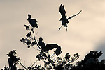Cattle Egrets arriving in tree top roost at dusk,Andalucia Spain.Bubulcus Ibis.