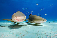 lemon sharks, Negaprion brevirostris, Grand Bahama, Atlantic Ocean