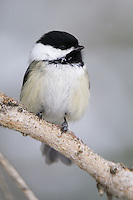 Black-capped chickadee perched on a pine branch