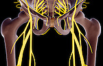 An anterior view of the nerve supply of the pelvis.   Royalty Free