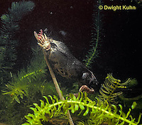 MB15-040x  Star-nosed Mole - catching a worm in a pool of  water - Condylura cristata