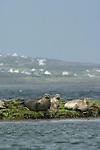 Phoque veau marin. Phoca vitulina. Ile d'Inishmore. Iles d'Aran.  Irlande.Common seal. Inishmore Island.. Aran Islands; Eire.