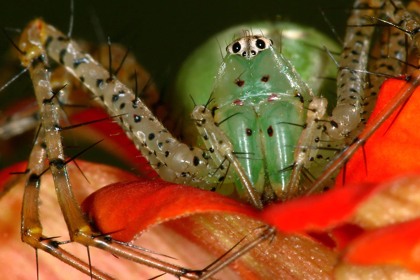 Peucetia viridans, the green lynx spider, is a conspicuous bright-green spider found on shrubs. It is the largest North American lynx spider.