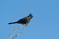 570800002 a wild phainopepla phainopepla nitens perches on a dead tree limb near a water source in the northern mojave desert california