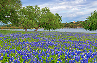 Bluebonnets along the river in the Texas Hill Country on a nice spring day.  We pulled this from our archive of wildflower images of this Texas bluebonnet landscape.  The mesquite tree leaves were nice and green  along the rivers edge with these bluebonnets leading up to the waters edge in the hill country with this moody Texas sky. The Texas bluebonnet or lupine were declared the state flower by the Texas legislature in 1971 that along with the Lady Bird Johnson  Highway Beautification Act have helped the wildflowers in the southwestern United State become a favorite thing to photograph.