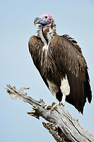 Lappet-faced Vulture (Aegypius tracheliotus), perched on bare tree, Maasai Mara National Reserve, Kenya, Africa
