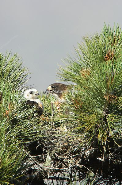 Short-tailed Hawk (Buteo brachyurus) nest, adult feeding nestling; Arizona