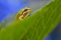 Pacific tree frog (Pseudacris regilla), also known as the Pacific chorus frog on backyard Hydrangea bush.  Pacific Northwest