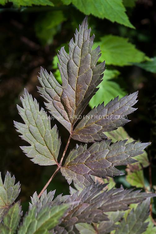 Actaea simplex 'Pink Spike' aka Cimicifuga simplex Pink Spike snakeroot, fairy candles foliage, bronze purple dark leaves
